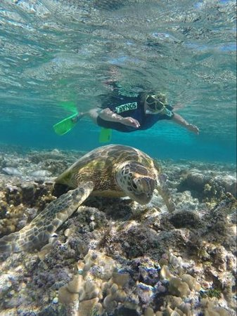 Lady Elliot Island Eco Resort : green turtles in lagoon