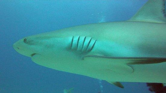 Dive Safaris: Shark Awareness Dive