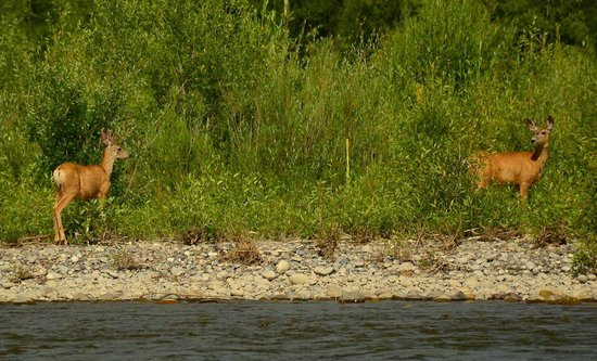 Jackson Hole Whitewater: Deer along the river