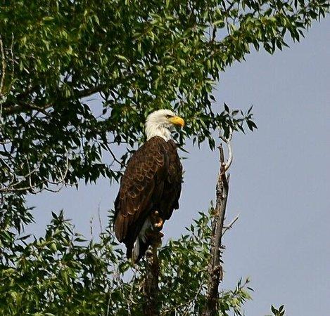 Jackson Hole Whitewater: Bald Eagle