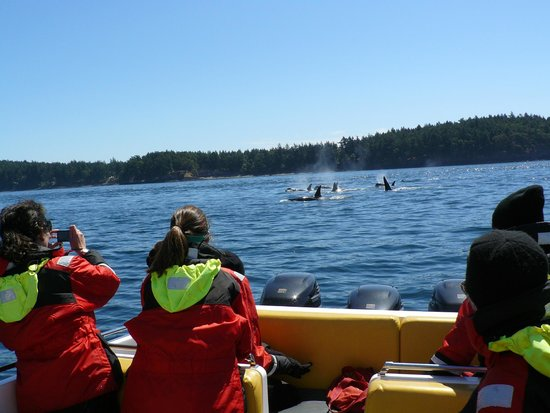Eagle Wing Whale Watching Tours: An orca pod