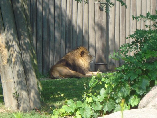 Cleveland Metroparks Zoo: Male Lion