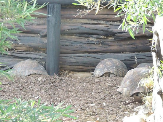 Ibis Place Country House & Cottages: Sleeping tortoises