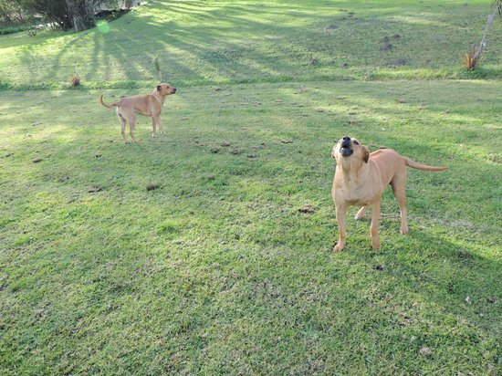 Ibis Place Country House & Cottages: Flekkie and Flappie, the Rhodesian Ridgies