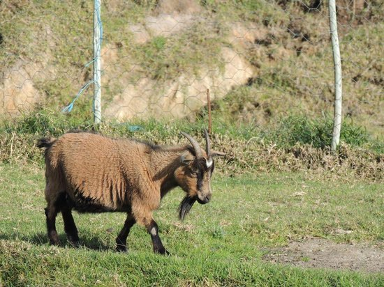 Ibis Place Country House & Cottages: 777, the goat