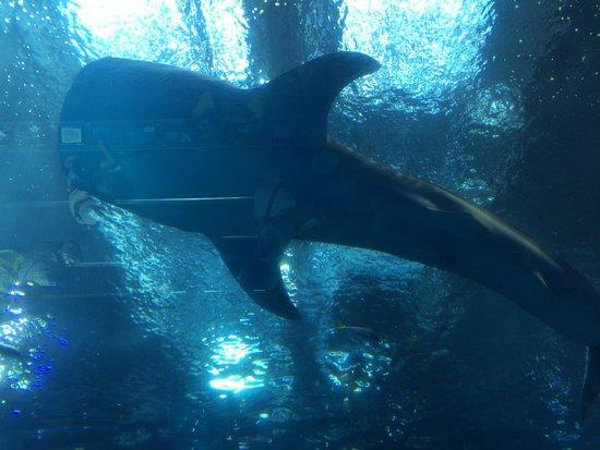 下からのアングル - Picture of Okinawa Churaumi Aquarium, Motobu-cho - TripAdvisor