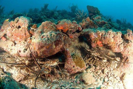 ScubaTech Grenada: Shark reef langoustes