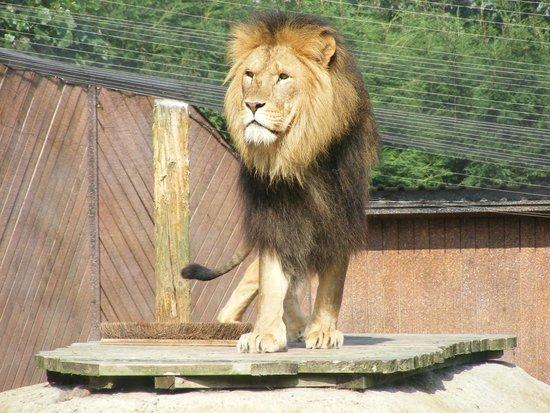 Colchester Zoo : Lion