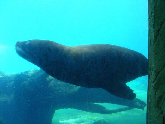 Colchester Zoo : Sea Lion