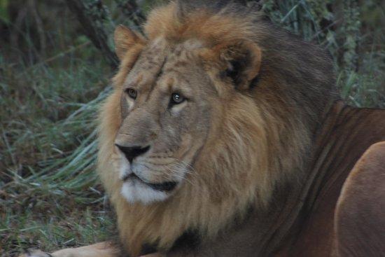 Kiangazi House: the beautiful lion