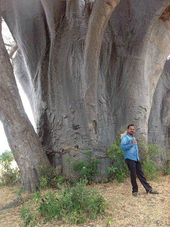 Selous Mbuyu Safari Camp: 3000 years old tree