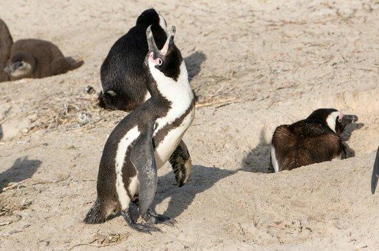Boulders Beach: penguin honking