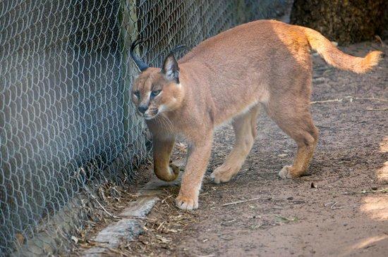 Emdoneni Cheetah project: cat