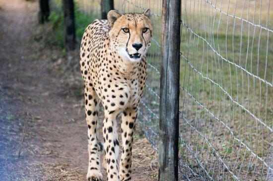 Emdoneni Cheetah project: cheetah
