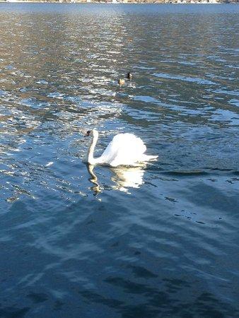 Lake Zell : Лебедь на Zell
