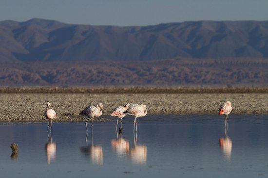 Laguna Tebinquinche: flamingos in the laguna