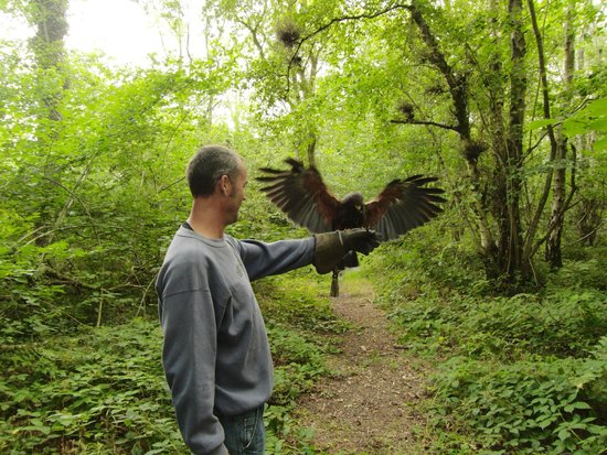 Hawks on Walks: Harris hawk on the walk