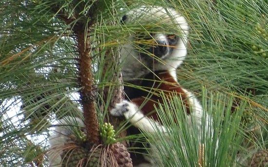 Lemurs Park : Coquerel's Sifaka