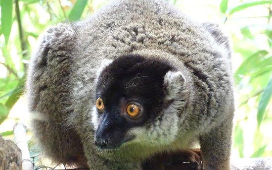 Lemurs Park : Common brown lemur