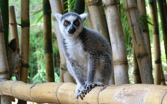 Lemurs Park : Ring-tailed lemur (young orphan)