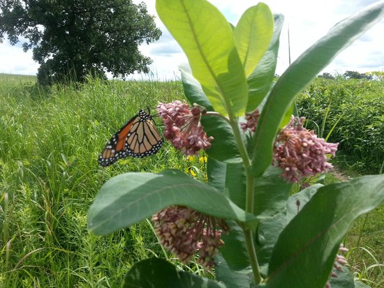 Cowling Arboretum at Carleton College: Monarch butterfly on milkweed in the arb
