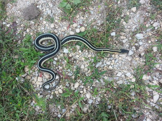 Cowling Arboretum at Carleton College: Snake on the trail