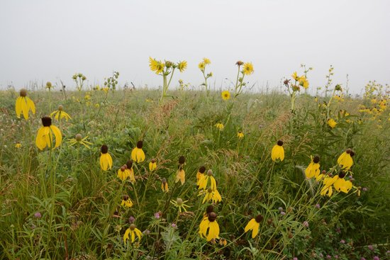 Cowling Arboretum at Carleton College: Prairie wildflowers