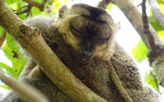Lemurs Park : Mongoose lemur