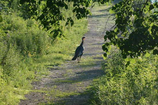 Cowling Arboretum at Carleton College: Wild turkeys abound
