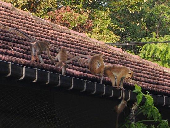 Sigiriya Village Hotel : 猿