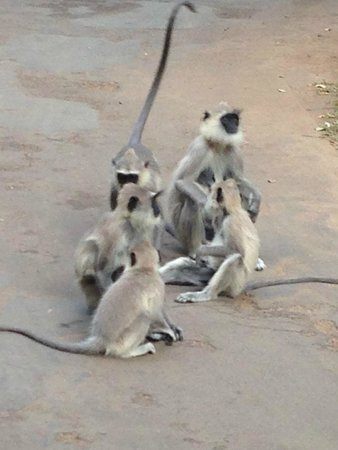 Sigiriya Village Hotel: 猿の家族