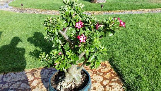 Royal Isabela : Bonsai