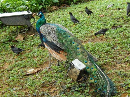 Sofitel Singapore Sentosa Resort & Spa: beautifull peacocks and hens in hotel grounds