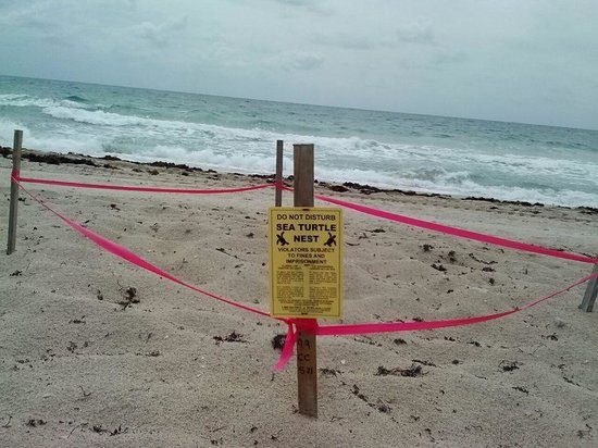 Ft. Lauderdale Beach Resort Hotel & Suites : Sea Turtle Nest