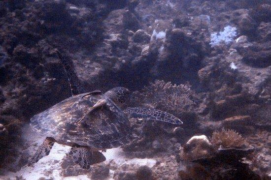 Mantanani Island: Turtles!