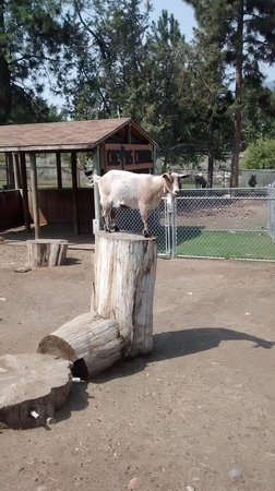 Kamloops Wildlife Park: More goats