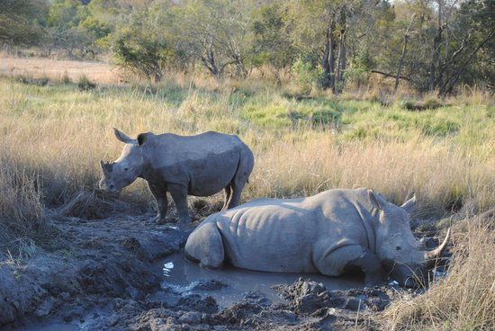 Inyati Game Lodge, Sabi Sand Reserve: Rhinos in a mud bath