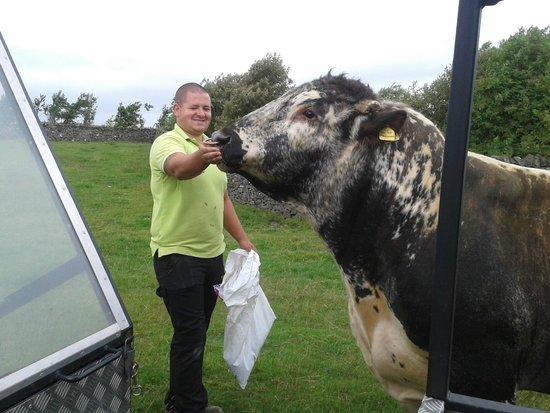 Thornton Hall Farm Country Park: Firework the cuddly bull