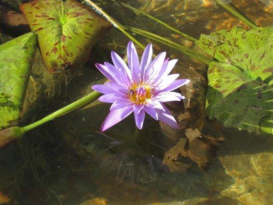 Sea Dell Motel : Water Lillies