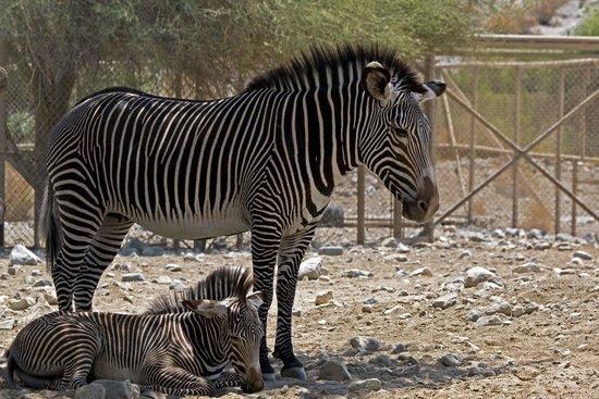 Living Desert Zoo & Gardens : Mum and Baby