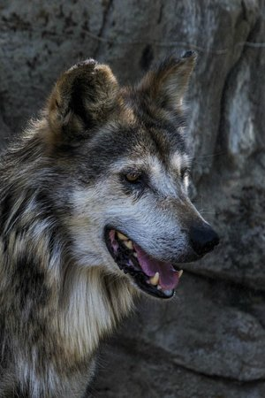 Living Desert Zoo & Gardens : Mwxican Wolf