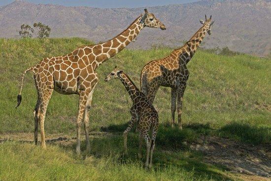 Living Desert Zoo & Gardens : Uncle, Mum and baby giraffe