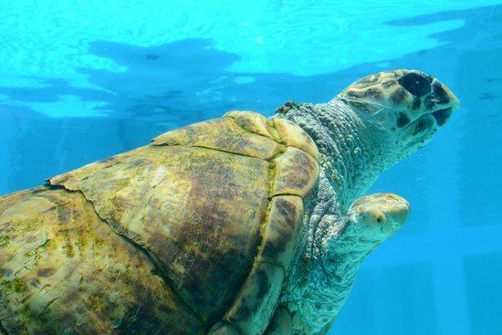 Clearwater Marine Aquarium: las tortugas marinas