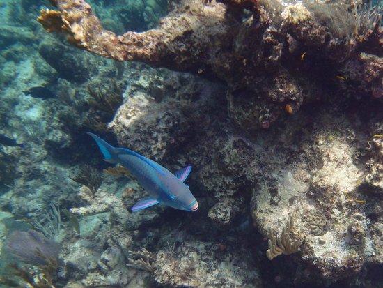 Stuart Cove's Dive Bahamas: Parrot Fish