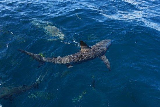 Stuart Cove's Dive Bahamas: Shark topside