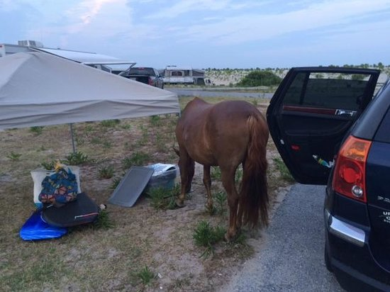 Assateague State Park Camping : The horse quickly became less cute when it started opening things to find food