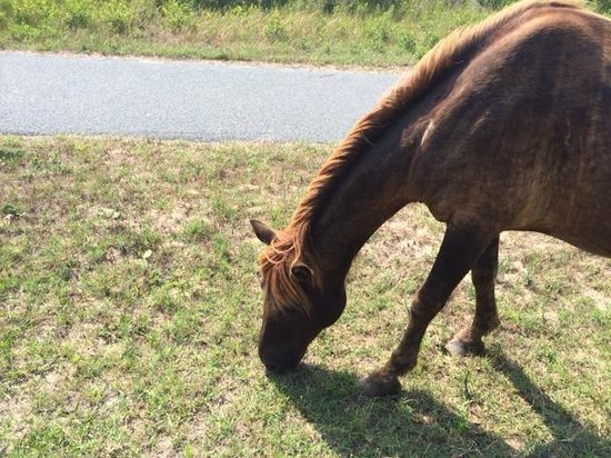 Assateague State Park Camping : Horse along side of road