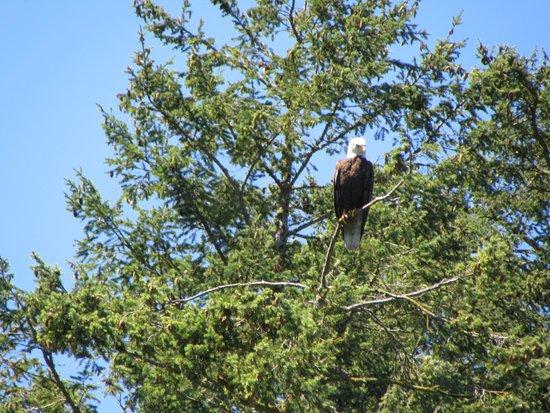 Deception Pass Tours: A Bald Eagle