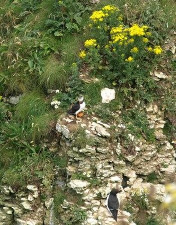 RSPB Bempton Cliffs: Puffin with orange feet