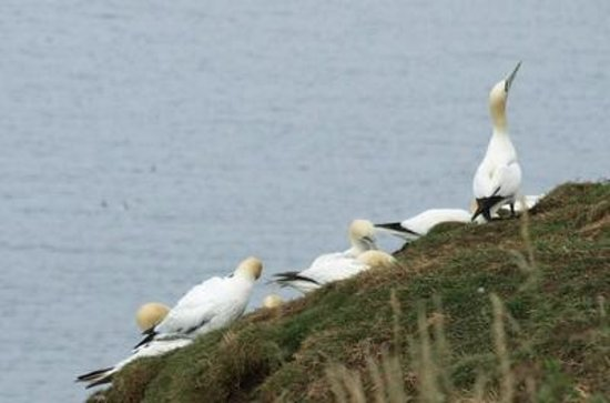 RSPB Bempton Cliffs: Teenage gannets hanging out